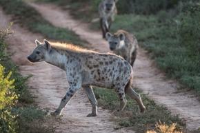 hyaene